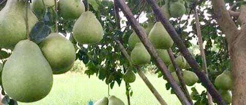 ส้มโอ ทับทิม สยาม